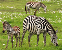 Interesting and fun facts about zebras