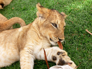Interesting facts about lions
