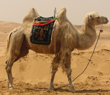 Interesting and fun facts about camels