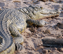 Interesting and fun facts about crocodiles