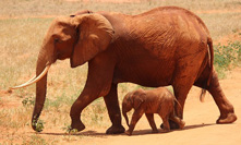 Interesting and fun facts about elephants