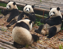 Interesting and fun facts about giant pandas