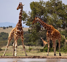 Interesting and fun facts about giraffes