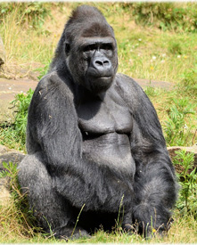 Interesting and fun facts about gorillas