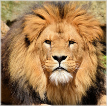 Interesting and fun facts about lions
