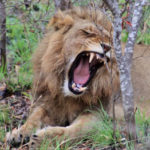 20 Interesting Facts about Lions You Didn't Know (with pictures)