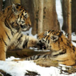 18 Interesting Facts about Tigers You Didn't Know (with pictures)