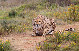 interesting facts about Cheetah with pictures