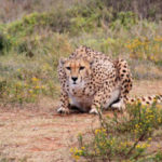 16 Interesting Facts about Cheetahs you didn't know (with pictures)