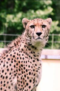 Cheetah - interesting facts about Cheetahs