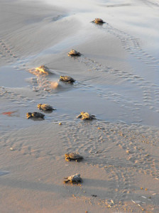 sea turtle picture - interesting facts about sea turtles
