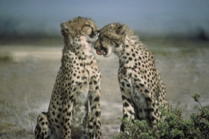 Two cheetahs - interesting facts about cheetahs