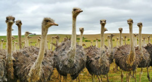 picture of ostriches