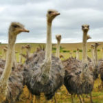 16 Interesting Facts about Ostriches you didn't know (with pictures)