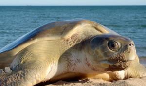 Picture 1: flatback sea turtle, interesting facts
