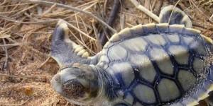 flatback sea turtle hatchling