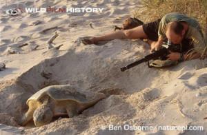 flatback sea turtle laying eggs