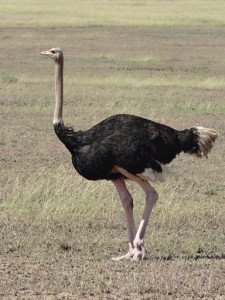 Picture of an Ostrich