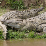 14 Interesting Facts About Crocodiles (With Pictures)