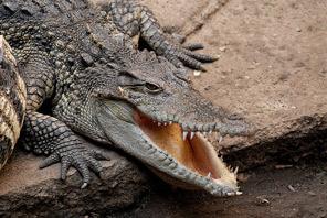 Siamese Crocodile.