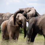 16 Interesting Facts about Elephants with Pictures