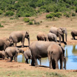 15 Interesting Facts about African Elephants With Pictures