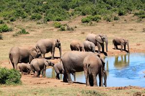 A Herd of African Elephants