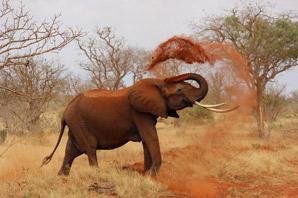 African Elephant having fun