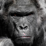 18 Interesting Facts About Gorillas With Pictures