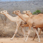 17 Interesting Facts about Camels (with Pictures)