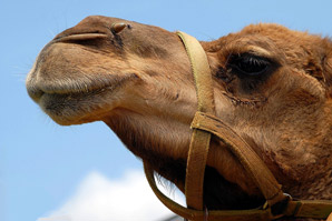 Camel fun facts