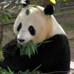 21 Interesting Facts about Giant Pandas You Didn't Know (with Pictures)