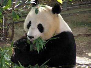 Giant pandas eat bamboo
