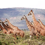 14 Interesting Facts about Giraffes You Didn't Know (with Pictures)