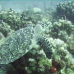 22 Interesting Facts about Hawksbill Sea Turtle You Didn't Know (With Pictures)