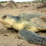 15 Interesting Facts About Kemp's Ridley Sea Turtle (With Pictures)