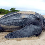 23 Interesting Facts about Leatherback Sea Turtle (with Pictures)