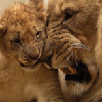 19 Interesting Facts about African Lions You Didn't Know
