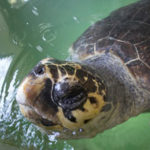 21 Interesting Facts about Loggerhead Sea Turtle