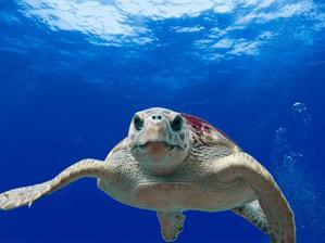 Loggerhead sea turtle fun facts