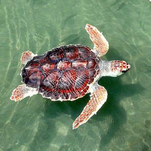 Interesting facts about loggerhead sea turtles