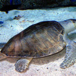 17 Interesting Facts about Olive Ridley Sea Turtle (with Pictures)