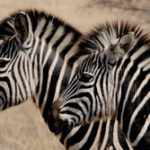 16 Interesting Facts about Zebra You Didn't Know