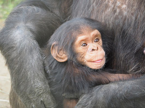 Chimpanzees fun facts