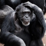 21 Interesting Facts about Chimpanzees that will amaze you
