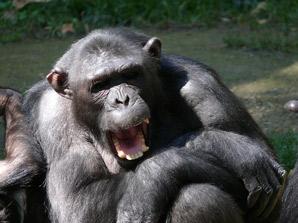 Interesting chimpanzee facts